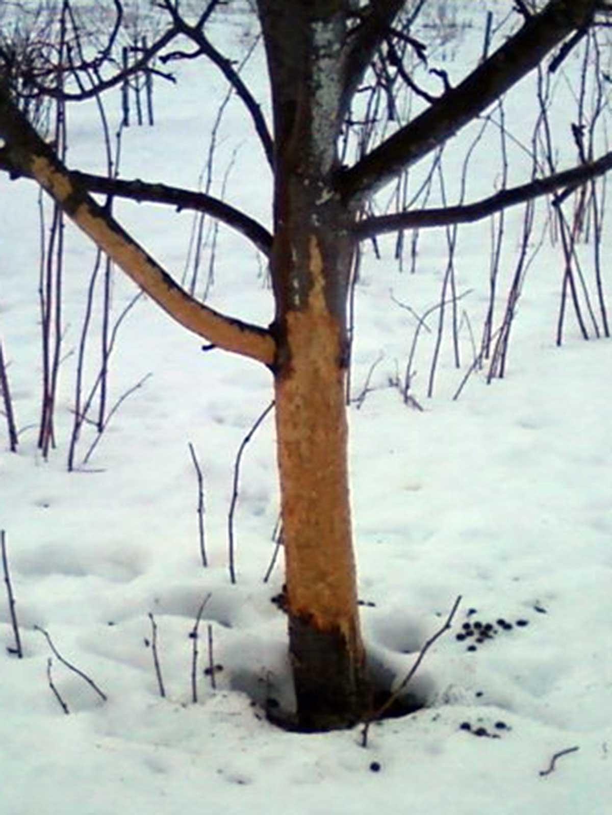 Apgraužtas medis